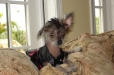 Chinese Crested, 5 years, Black